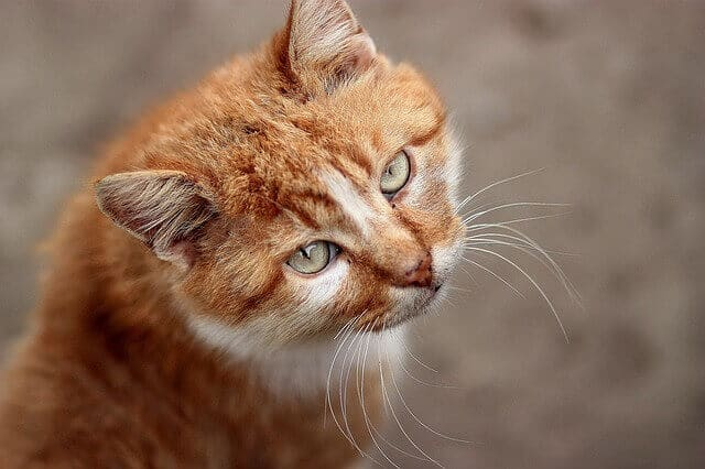 can cats eat mandarin oranges