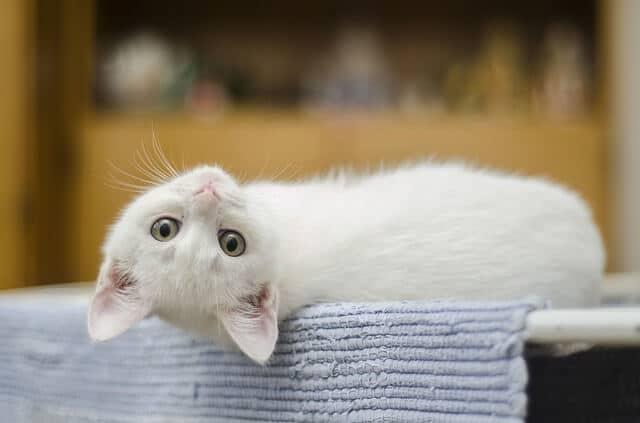 Domestic Cute Kitten White Feline Cat Cute Cat