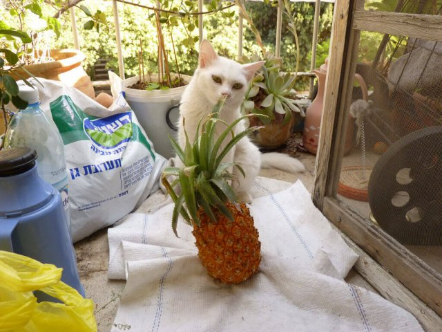 can cats eat dried pineapple